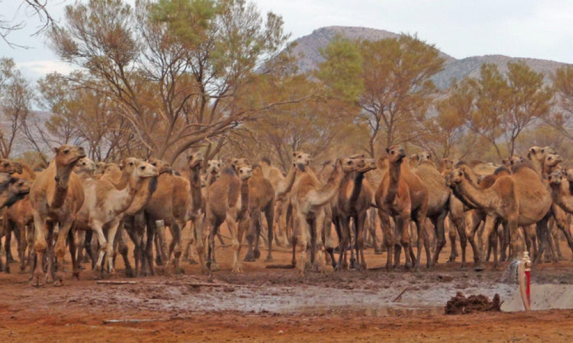 Binlerce devenin öldürülmesine karar verilen Avusturalya'da operasyon başladı