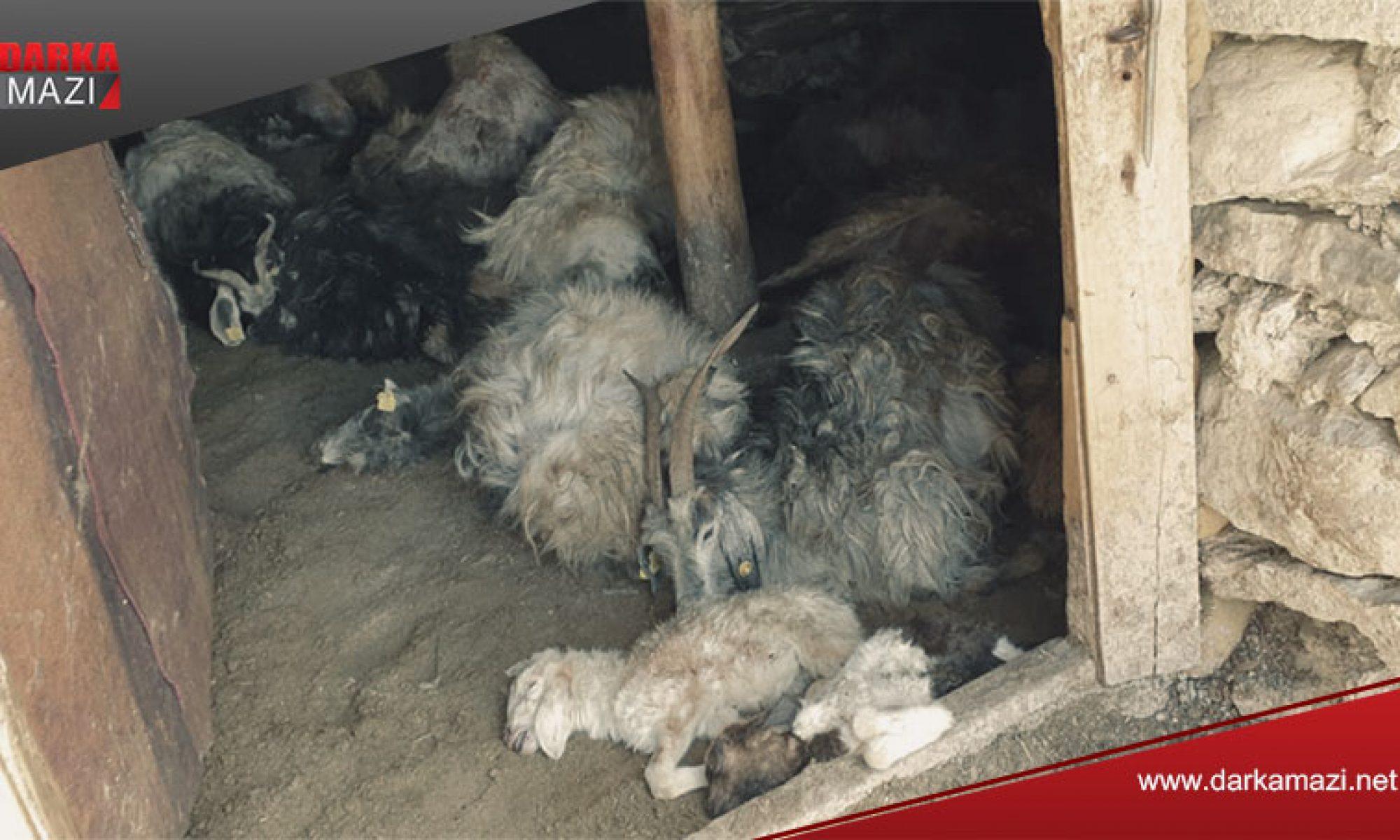 Ayı Hakkari'de 50 küçük baş hayvanı telef etti