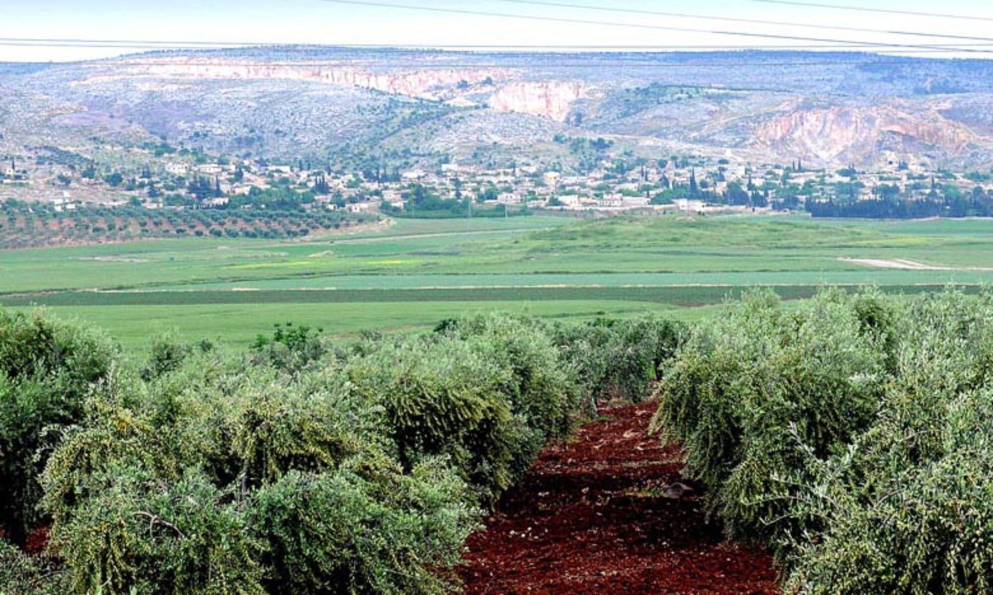 Efrin'de Zeytin zulmü devam ediyor: Meydank köyünde 60'tan fazla zeytinliğe en kondu