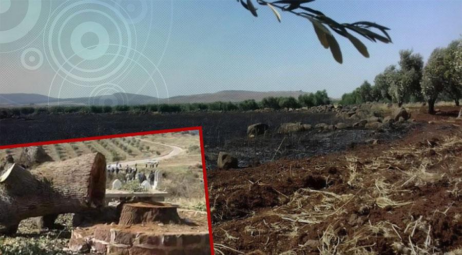 Efrin'de 150 yıllık zeytin ağaçları kesip yakacak olarak satıyor