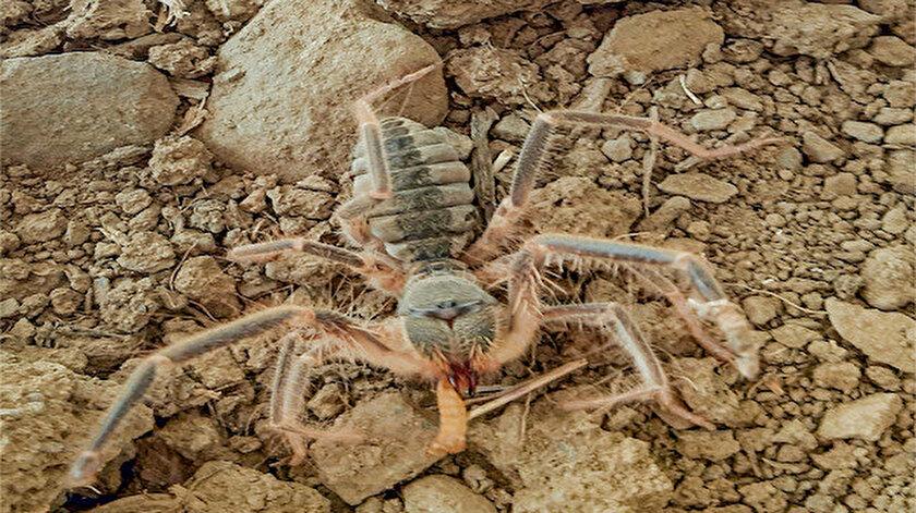 Hakkari'de yeni bir böcek keşfedildi: Galeodes Hakkariensis